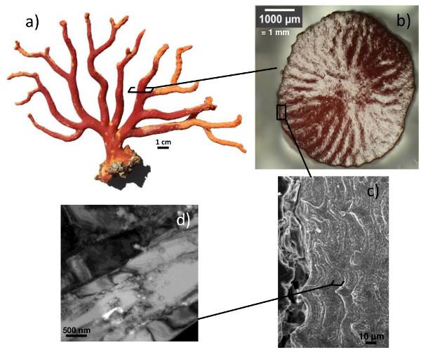 Quel est le lien entre le corail rouge de Méditerranée et les nanosciences?